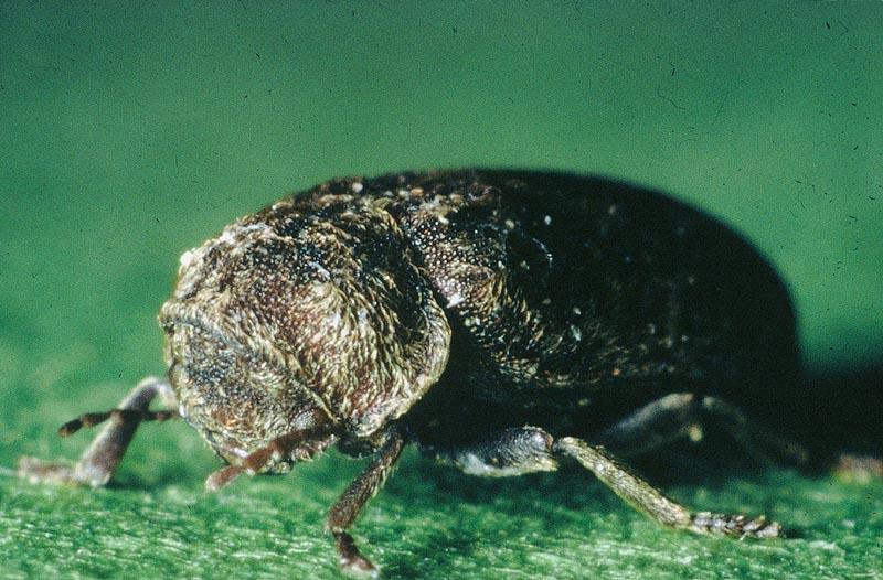 Etat parasitaire termites for Insecte bois meuble